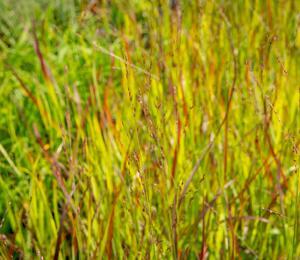 Proso prutnaté 'Rotstrahlbusch' - Panicum virgatum 'Rotstrahlbusch'