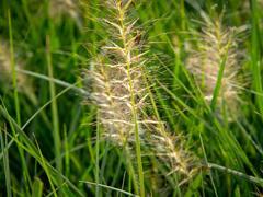 Dochan psárkovitý 'Goldstrich' - Pennisetum alopecuroides 'Goldstrich'
