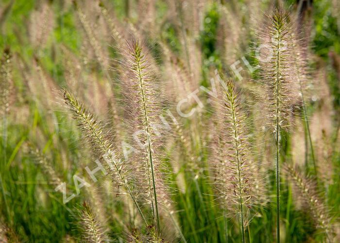 Dochan psárkovitý 'Hameln' - Pennisetum alopecuroides 'Hameln'