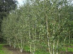 Bříza himalájská var. jacquemontii - Betula utilis jacquemontii
