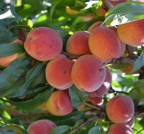 Broskvoň - středně raná 'Modřinka' - Prunus persica 'Modřinka'