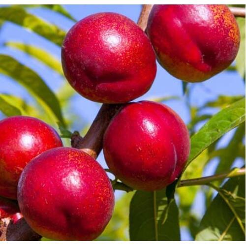 Nektarinka - středně raná 'Flavortop' - Prunus persica 'Flavortop'
