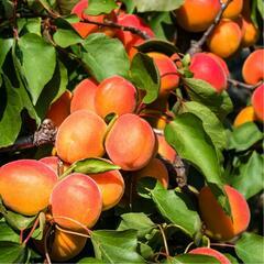 Meruňka pozdní 'Rouge du Roussilon' - Prunus armeniaca 'Rouge du Roussilon'
