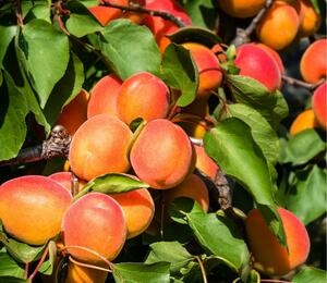 Meruňka - pozdní 'Rouge du Roussilon' - Prunus armeniaca 'Rouge du Roussilon'