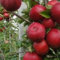 Jabloň zimní 'Najdared' - Malus domestica 'Najdared'