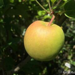 Jabloň letní 'Delbarestivale' - Malus domestica 'Delbarestivale'