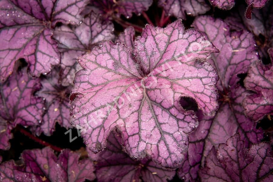 Dlužicha 'Beauty Leaves Stan' - Heuchera hybrida 'Beauty Leaves Stan'
