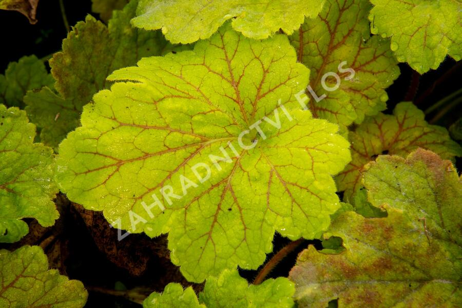 Dlužicha 'Beauty Leaves Maud' - Heuchera hybrida 'Beauty Leaves Maud'