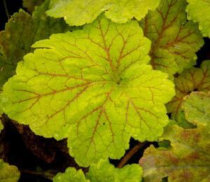 Dlužicha 'Beauty Leaves Maud' - Heuchera hybrida 'Beauty Leaves Maud'