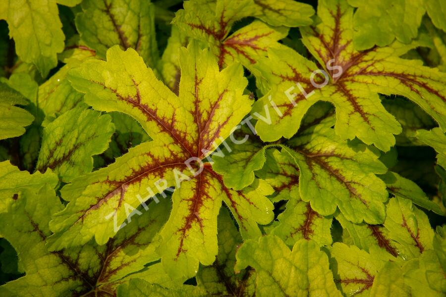 Dlužicha 'Beauty Leaves Zoe' - Heuchera hybrida 'Beauty Leaves Zoe'