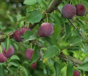Slivoň myrobalán - Prunus cerasifera