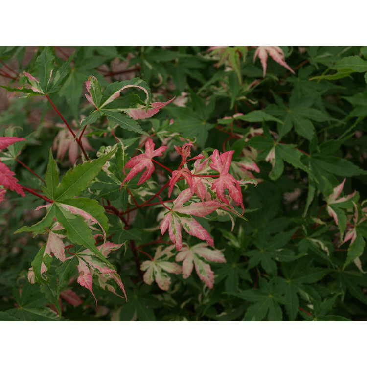 Javor dlanitolistý 'Asahi-zuru' - Acer palmatum 'Asahi-zuru'