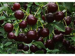 Višeň keřová 'Carmine Jewell' - samosprašná - Prunus cerasus 'Carmine Jewell'
