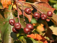 Jeřáb břek - Sorbus torminalis
