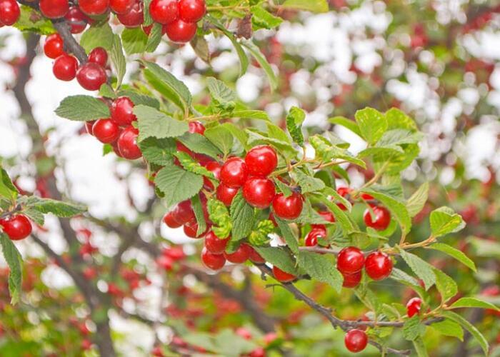 Višeň plstnatá - Prunus tomentosa