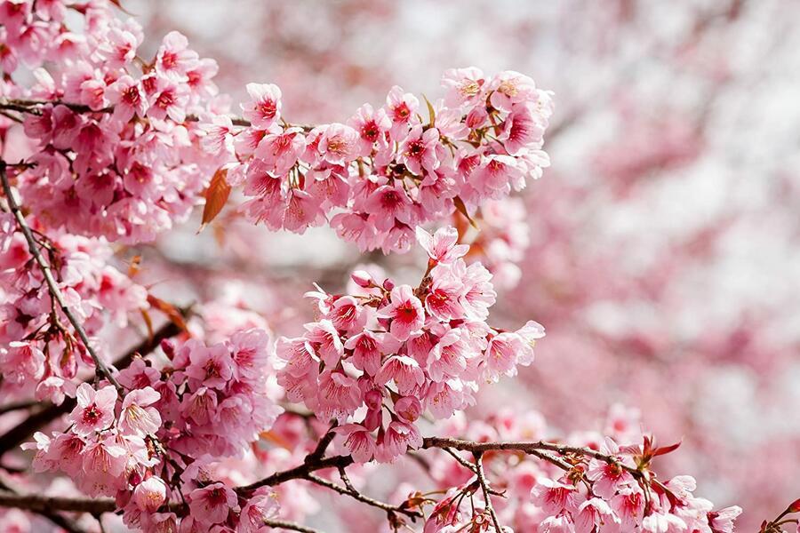 Slivoň vyříznutá 'Paean' - Prunus incisa 'Paean'
