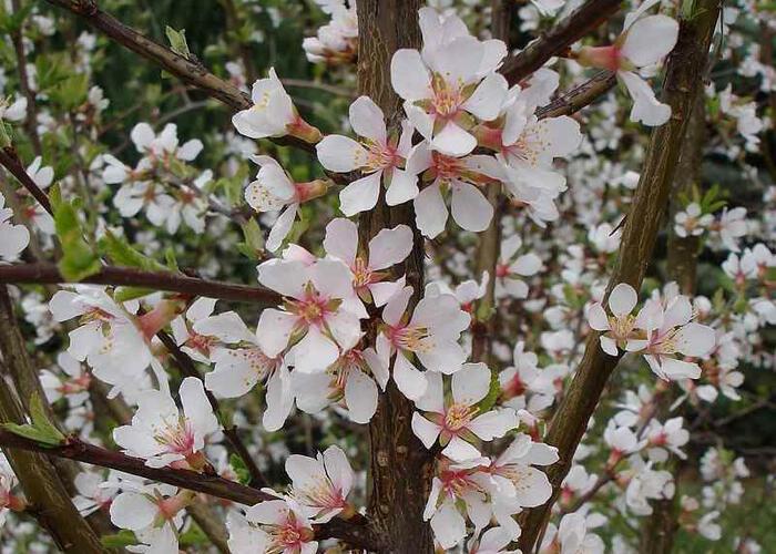 Višeň plstnatá 'Snovit' - Prunus tomentosa 'Snovit'