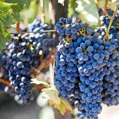Réva vinná 'Leon Millot' - Vitis vinifera 'Leon Millot'