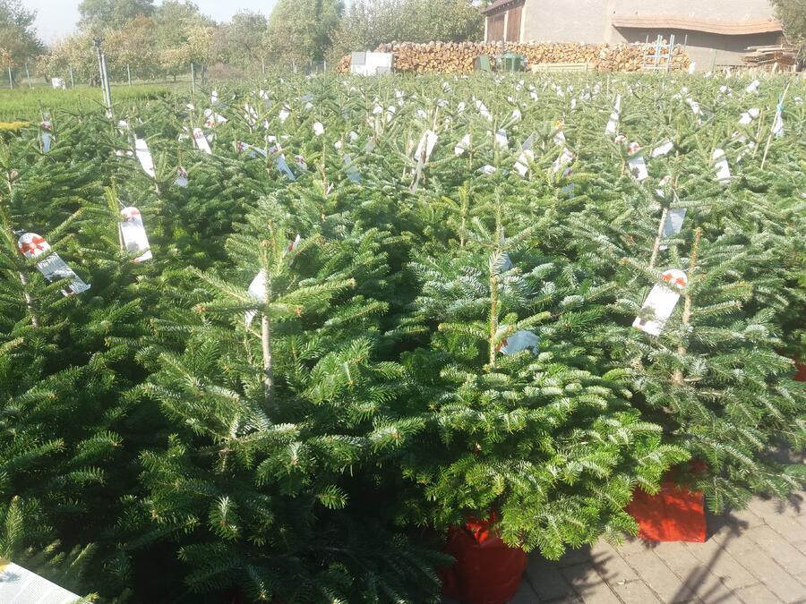 Vánoční stromek v kontejneru Jedle kavkazská - Vánoční stromek v kontejneru Abies nordmanniana