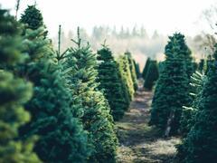 Vánoční stromek jedle kavkazská - Vánoční stromek Abies nordmanniana