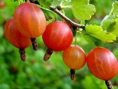 Angrešt červený 'Krasnoslovianski' - Grossularia uva crispa 'Krasnoslovianski'
