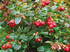 Brusinka obecná 'Red Pearl' - Vaccinium vitis-idaea 'Red Pearl'