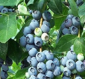 Borůvka 'Color Bells Patio Blue' - Vaccinium hybridum 'Color Bells Patio Blue'