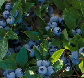Borůvka chocholičnatá, kanadská borůvka 'North Blue' - Vaccinium corymbosum 'North Blue'