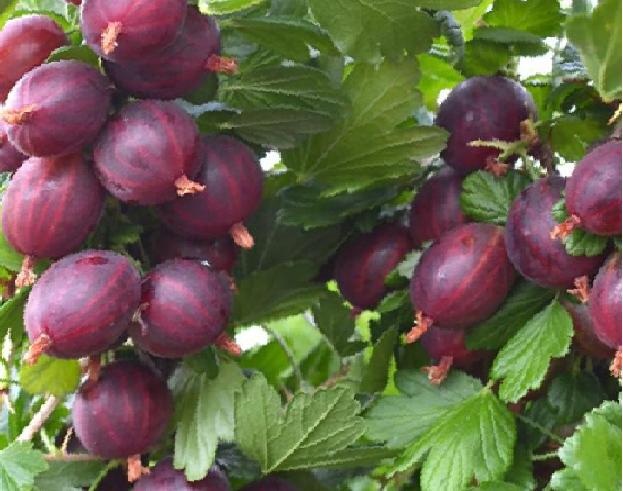Angrešt 'Nesluchowski' - Grossularia uva crispa 'Nesluchowski'
