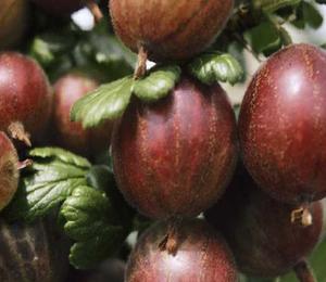 Angrešt červený 'Rokula' - Grossularia uva crispa 'Rokula'
