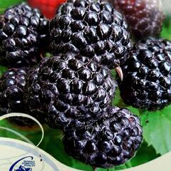 Maliník černý 'Bristol' - Rubus occidentalis 'Bristol'