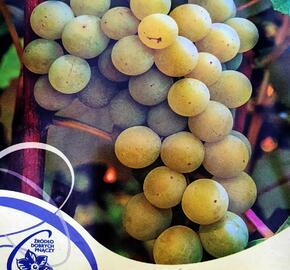 Réva vinná 'Iza Zaliwska' - Vitis vinifera 'Iza Zaliwska'