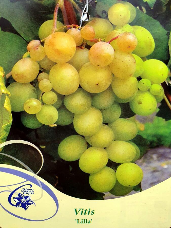 Réva vinná 'Lilla' - Vitis vinifera 'Lilla'