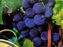 Réva vinná 'Isabella' - Vitis vinifera 'Isabella'