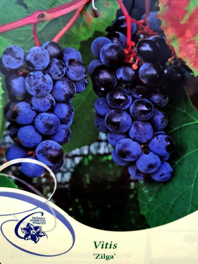 Réva vinná 'Zilga' - Vitis vinifera 'Zilga'