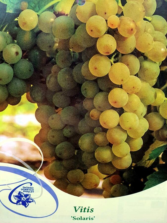Réva vinná 'Solaris' - Vitis vinifera 'Solaris'