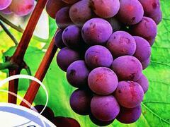 Réva vinná 'Reliance' - Vitis vinifera 'Reliance'