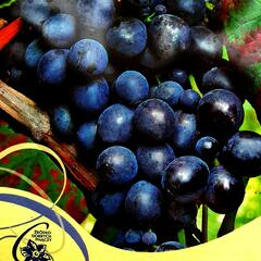 Réva vinná 'Muscat Bleu' - Vitis vinifera 'Muscat Bleu'
