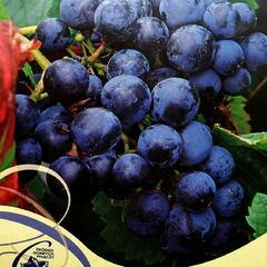 Réva vinná 'Rondo' - Vitis vinifera 'Rondo'