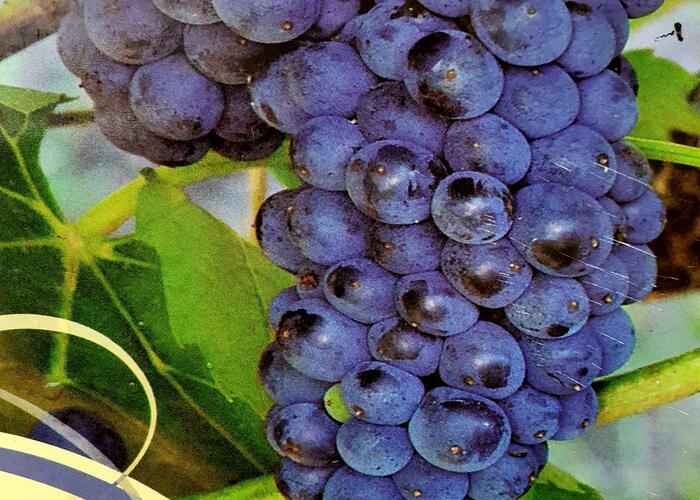 Réva vinná 'Marechal Foch' - Vitis vinifera 'Marechal Foch'