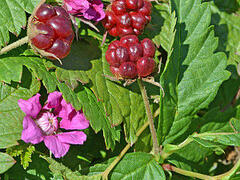 Ostružiník arktický 'Marika' - Rubus arcticus 'Marika'