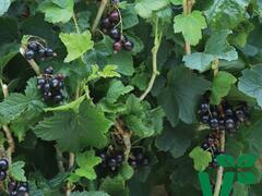 Rybíz černý 'Summer Pearls Black' - Ribes nigrum 'Summer Pearls Black'