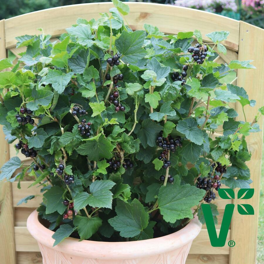 Rybíz černý 'Summer Pearls Patio Black' - Ribes nigrum 'Summer Pearls Patio Black'