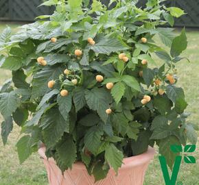 Maliník 'Summer Lovers Patio Gold' - Rubus idaeus 'Summer Lovers Patio Gold'