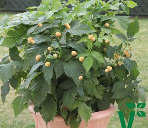 Maliník 'Summer Lovers Patio Gold' - Rubus idaeus 'Summer Lovers Patio Gold'