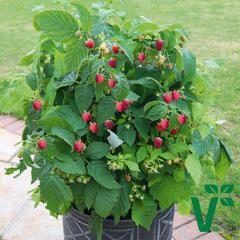 Maliník 'Summer Lovers Patio Red' - Rubus idaeus 'Summer Lovers Patio Red'