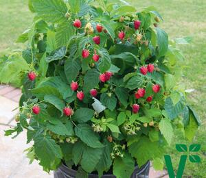 Maliník 'Summer Lovers Patio Red' - Rubus idaeus 'Summer Lovers Patio Red'