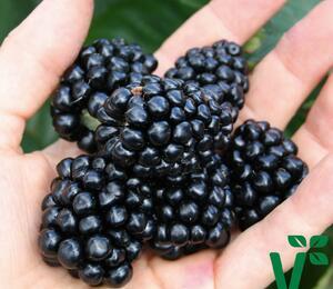 Ostružiník 'Coolaris Late' - Rubus fruticosus 'Coolaris Late'