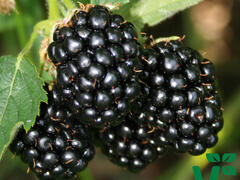 Ostružiník 'Coolaris Early' - Rubus fruticosus 'Coolaris Early'