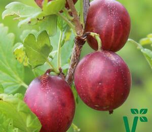 Angrešt červený 'Giggles Red' - Grossularia uva crispa 'Giggles Red'